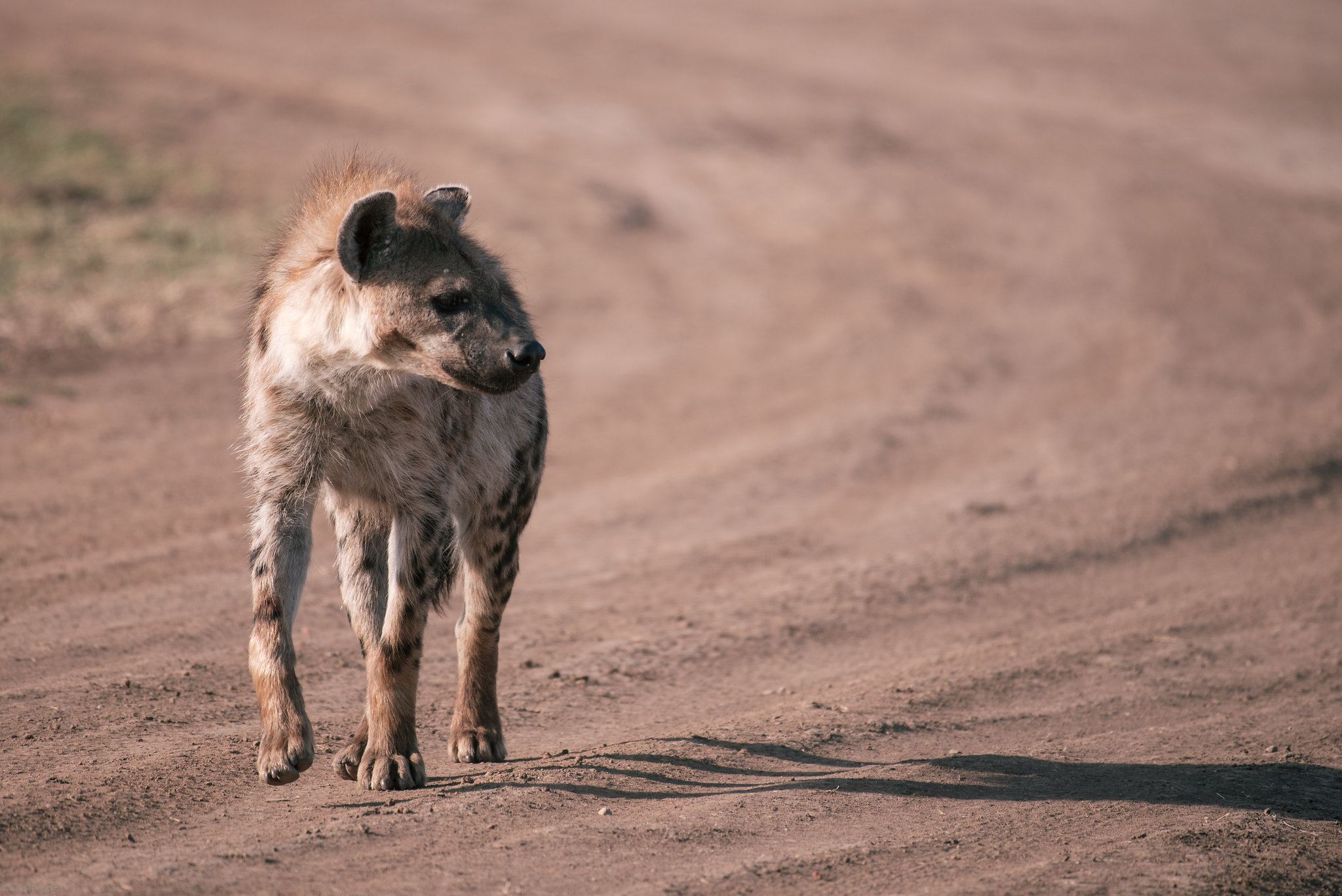 Lonely hyena walking up the road