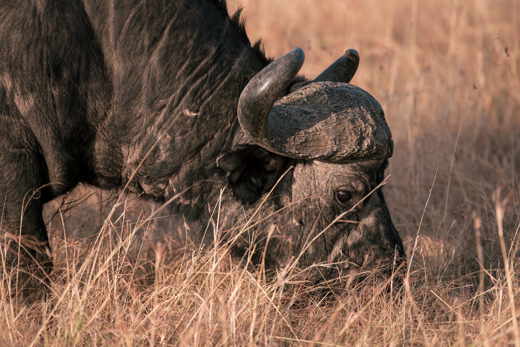 Massive buffalo