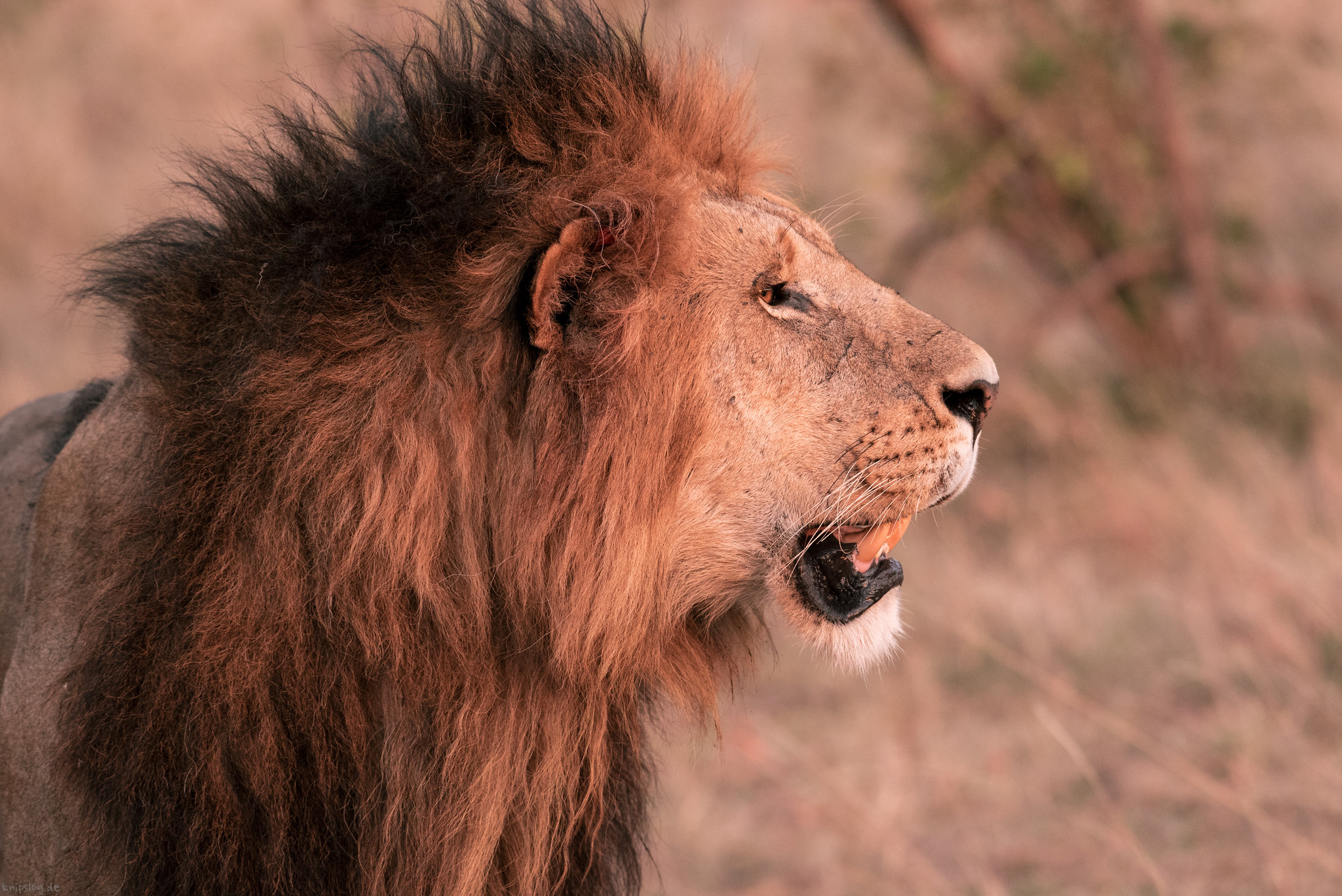 Impressive lion in the morning light