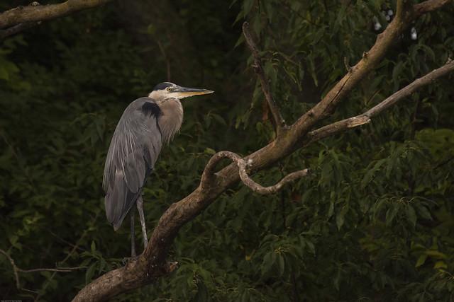 _BRD4565 Great Blue Heron
