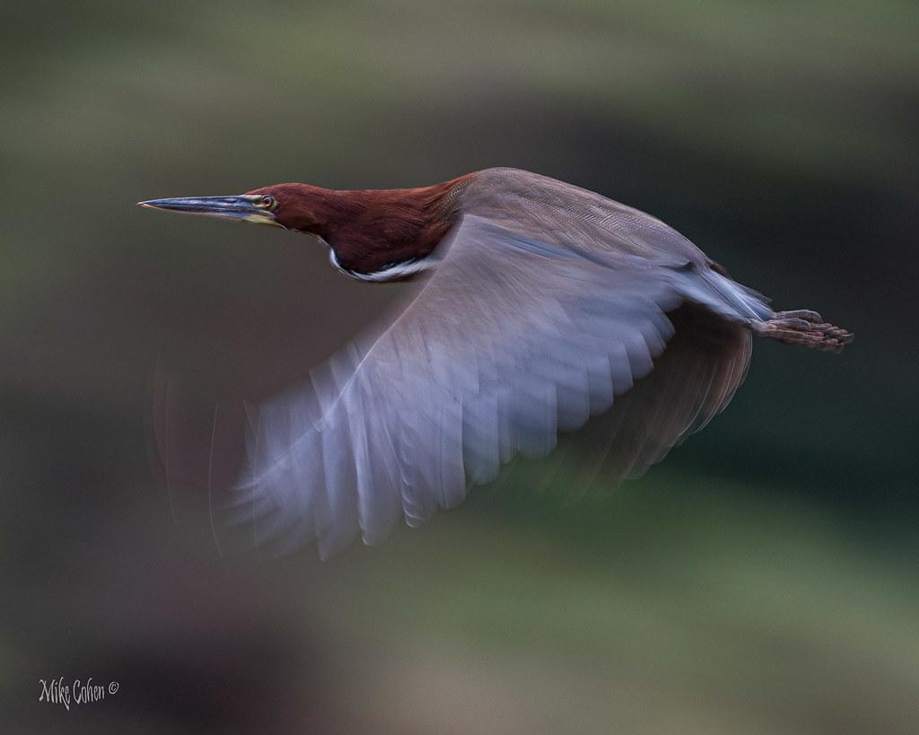 Tiger Heron Blur