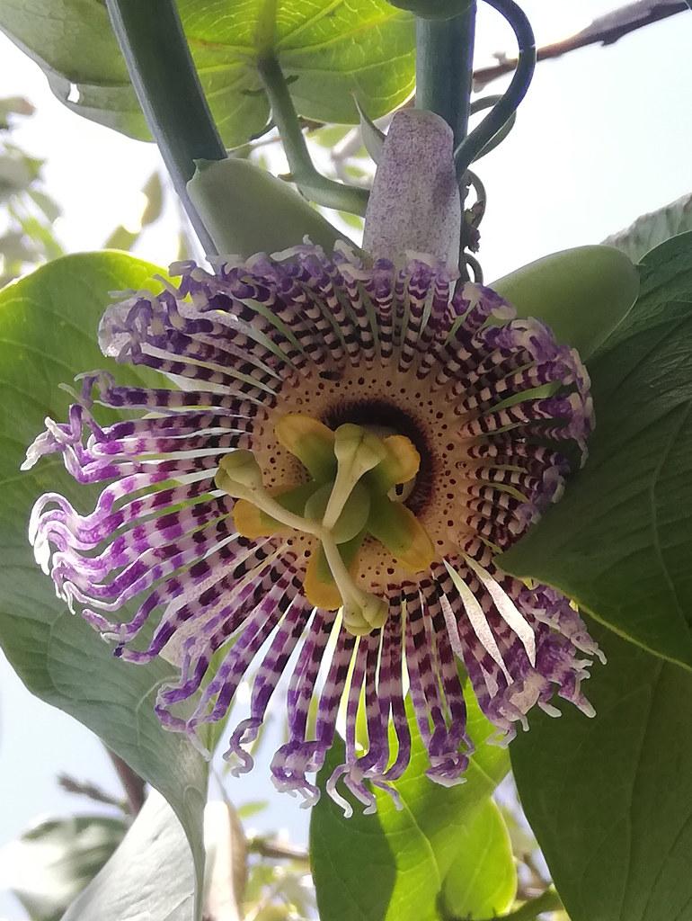 00688 Passiflora ligularis, GRANADILLA