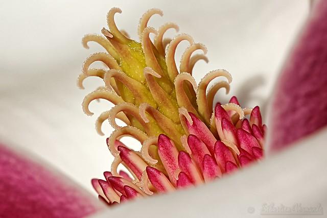 Heart of magnolia flower - Coeur de fleur de magnolia