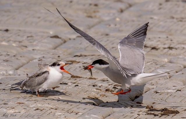 DSC2856a  Common Terns....