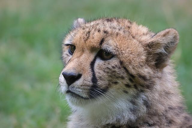 Portrait vom jungen Gepard