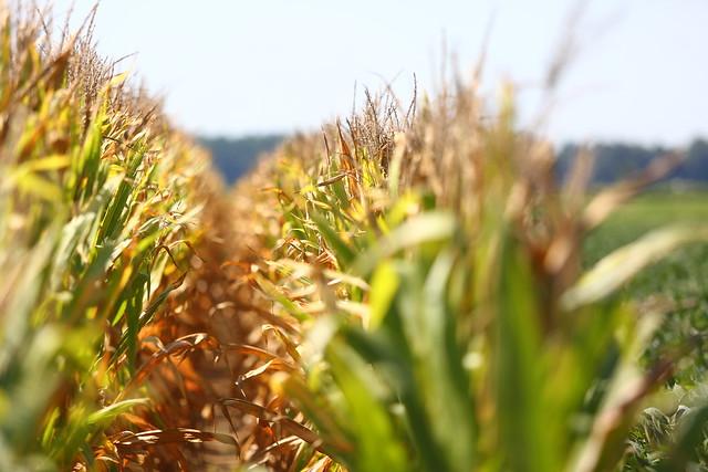 Lon-Mann-crop-rsrch-field-day_0377