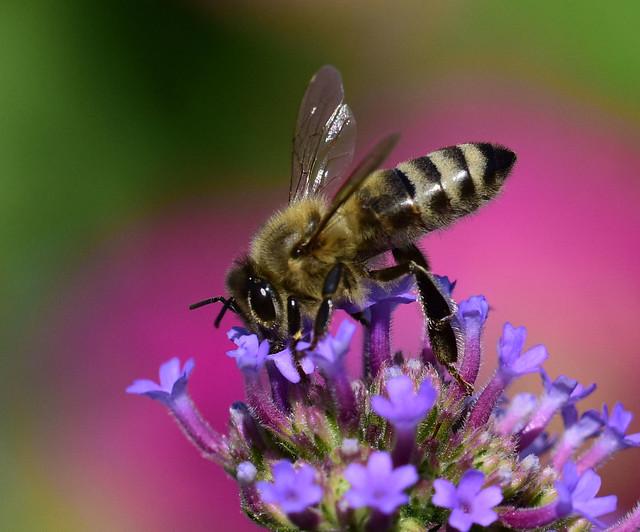 _8111680.T Honeybee hard at work