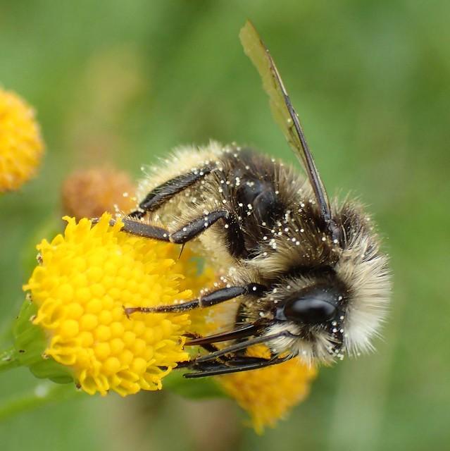 Bumbling in the Park. Gray Bumblebee, Bombus veteranus, on Senecio, Groundsel, Vondelpark, Amsterdam, The Netherlands