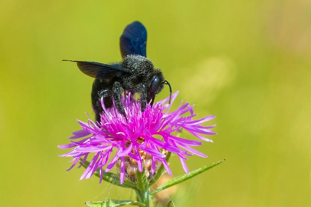 Xylocopa violacea, Violet carpenter bee