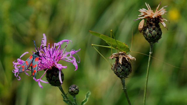 Three insects on three flowers - Drei auf einen Schlag