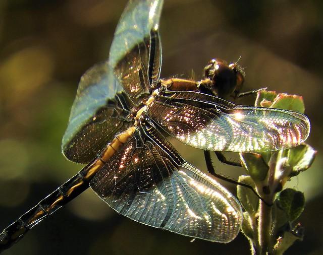 Widow Skimmer Dragonfly Wings