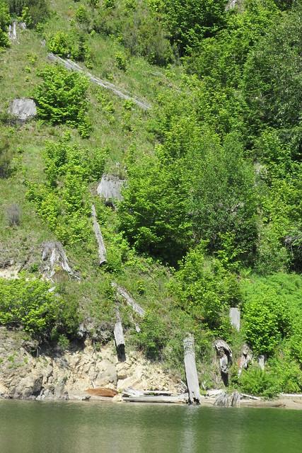 Mount St. Helens National Volcanic Monument - Tree Stumps