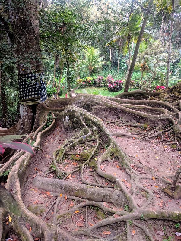 Arbol de raices aéreas en Templo Pura Goa Gajah : Elephant Cave Temple.