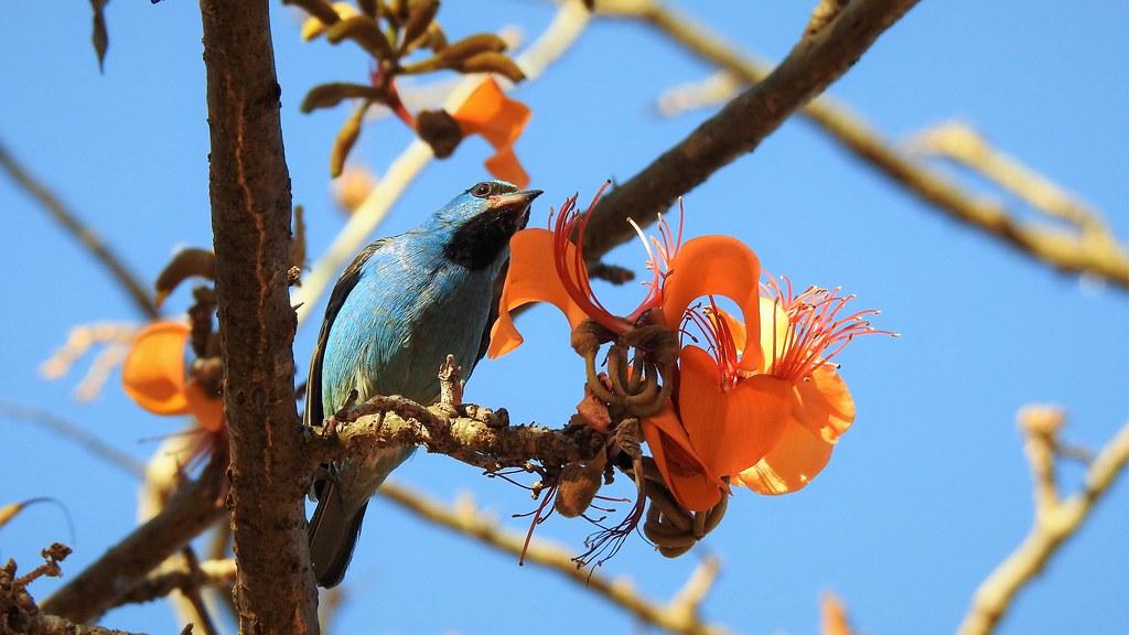 Saí-azul - Blue Dacnis