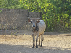 The Local Cow