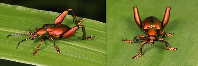 MUGSHOT - Frog-legged Leaf Beetle (Sagra cf. femorata, Chrysomelidae)