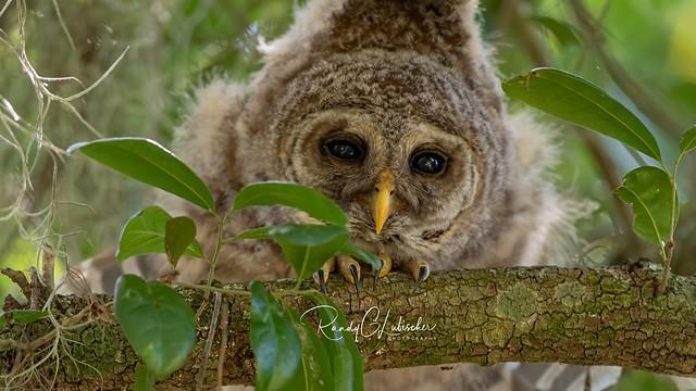 Barred Owl - Strix varia | 2019 - 6