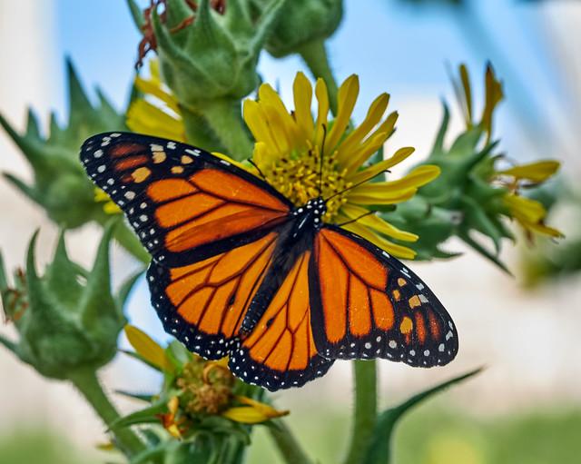 Monarch & compass flower.