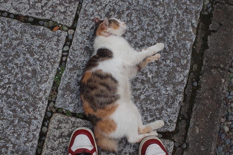 RICOH GRⅡ+ワイドコンバージョンレンズ21mm偽 東京いい道 志茂銀座 志茂熊野神社の猫 三毛