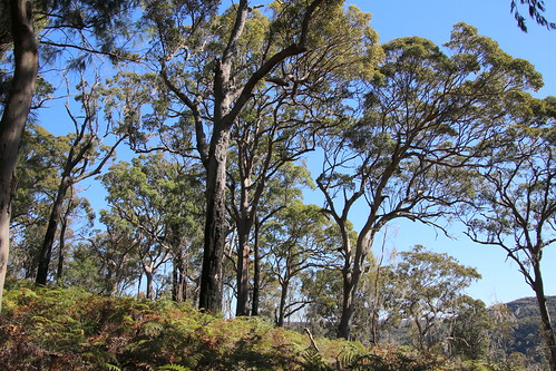 Eucalyptus forest, about 25 metres tall