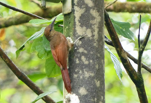 Trepador Barrado Norteño, Northern Barred Woodcreeper (Dendrocolaptes sanctithomae)