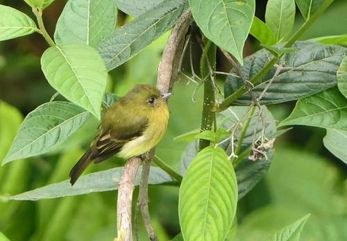 Atrapamoscas Moñudo, Tufted Flycatcher, Choco Tufted Flycatcher (Mitrephanes phaocercus) (Mitrephanes phaocercus berlepschi)