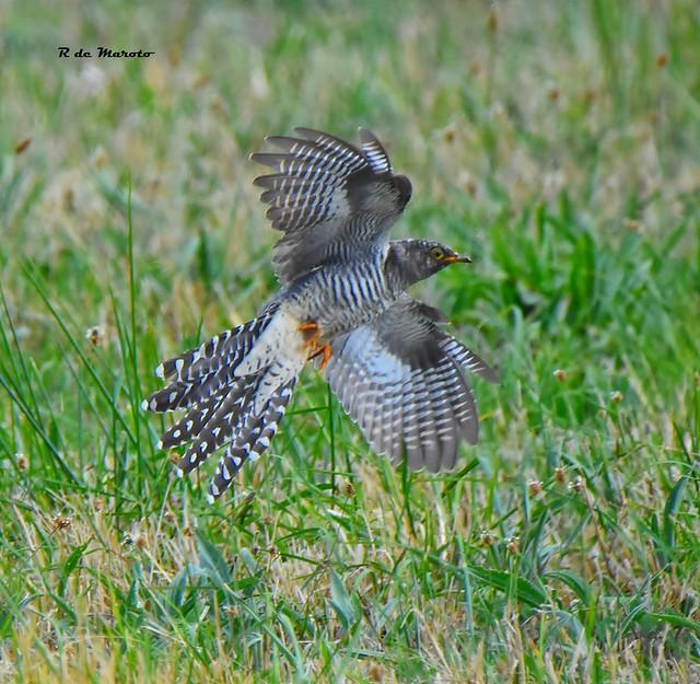Inmature common cuckoo