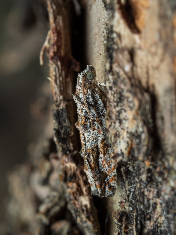 Moth hiding on a tree