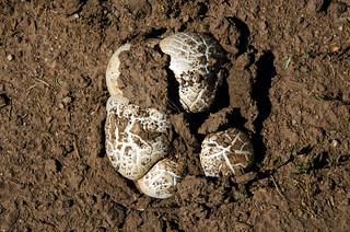 Big Mushroom Up from the Colorado Mud DSC_0011_edited-1