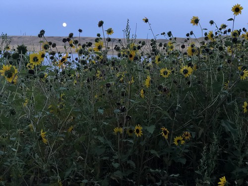 Saskatchewan Landing - Moon and flowers