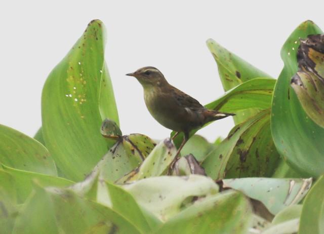 Rusty-rumped Warbler, Locustella certhiola, Певчий сверчок