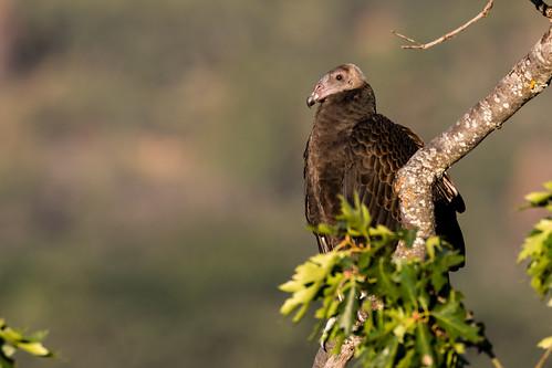 Turkey Vulture (Cathartes aura) Immature