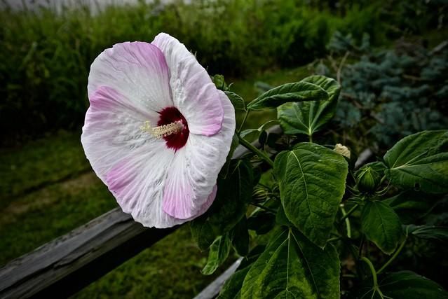 Hibiscus - Peck Farm Geneva IL