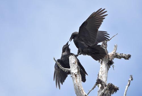 Common Ravens 8-13-19
