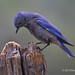 Male Western Bluebird Peers Into Old Weathered Broken Tree Trunk