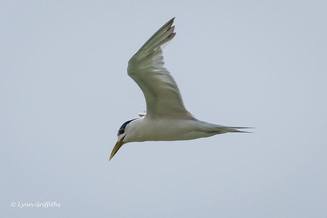 Greater Crested Tern 501_7895.jpg
