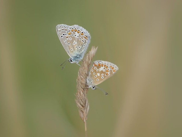Common blue and brown argus butterflies