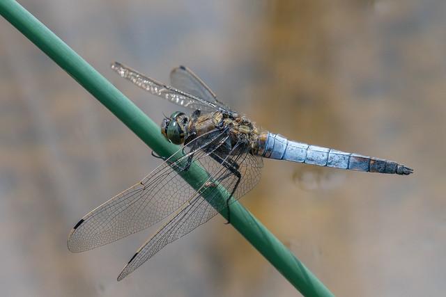 Black - tailed Skimmer.......