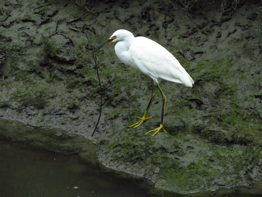 Snowy Egret picking up a branch
