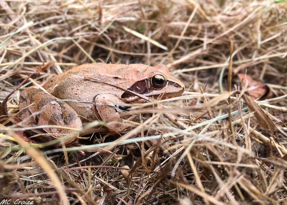 Grenouille des champs (Rana arvalis) 48556768316_242752d3cd_o