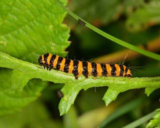 Cinnibar Moth Caterpillar