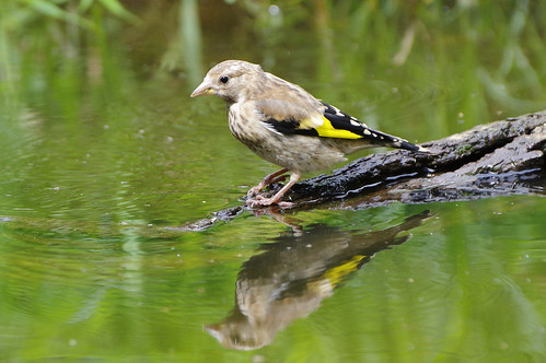 cardueliscarduelis norfolk bird goldfinch nature wild wildlife
