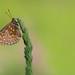 Marsh Fritillary (Euphydryas aurinia)