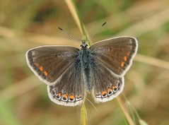 Common Blue (Polyommatus icarus) Female
