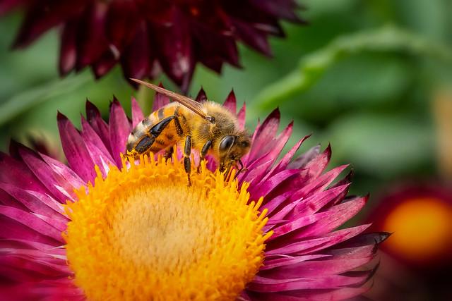 Biene auf einer Garten-Strohblume