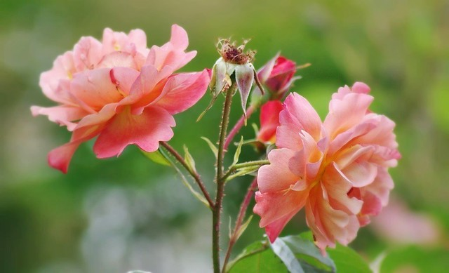 Roses saumon
