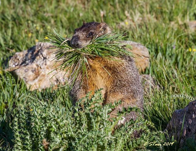 IMG_7981 marmot