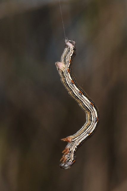 Hanging Chlenias - Looping Caterpillar