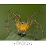 Orange Lynx Spider
