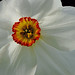 Pheasants Eye Daffodil